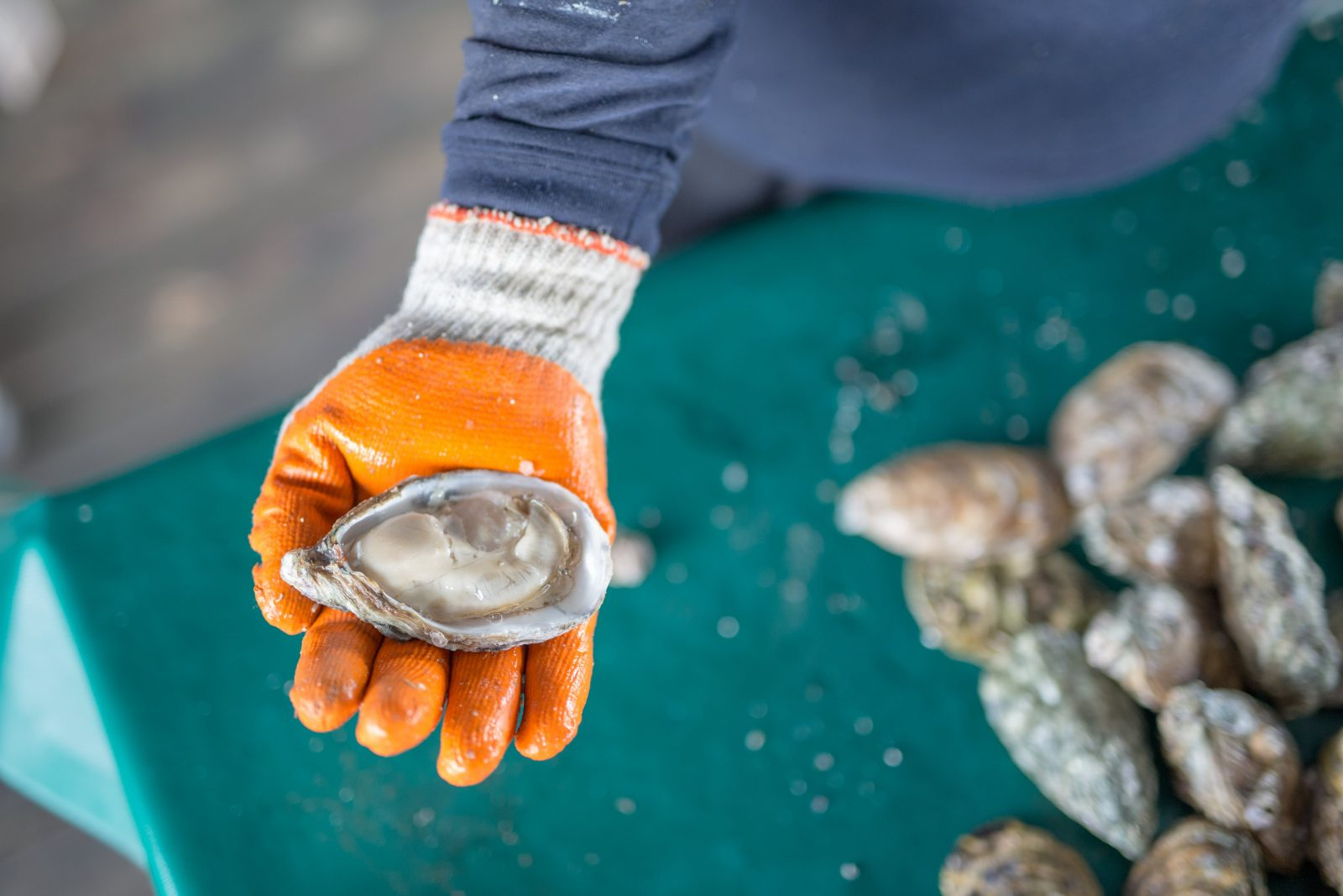The proof is in the eating -- see how plump these oysters are!